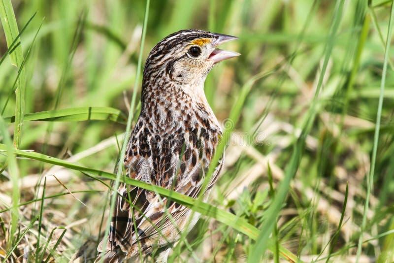 Grasshopper Sparrow Stock Photo