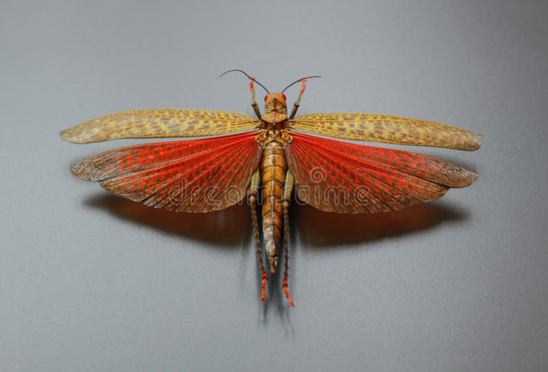 Grasshopper with spread wings stock photography