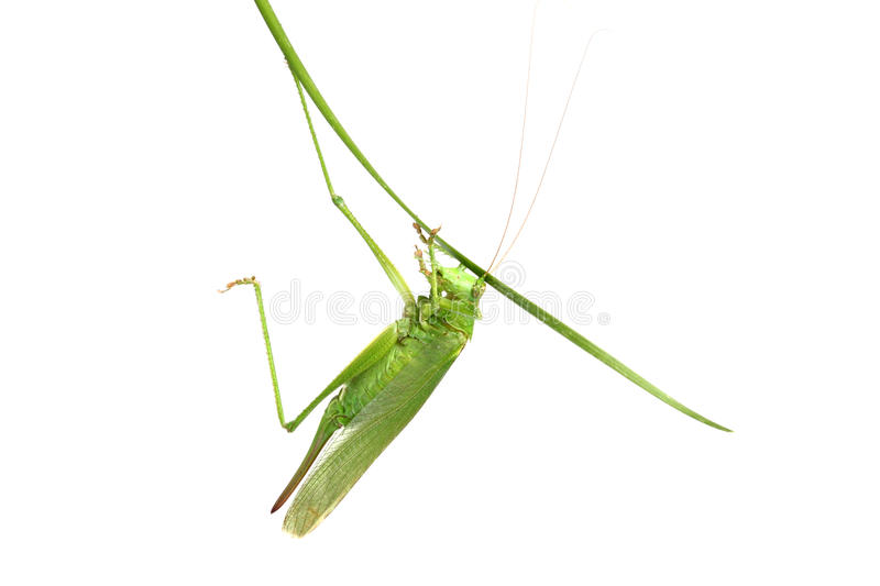 Download Grasshopper On A Stalk Isolated Stock Photo - Image: 25852970