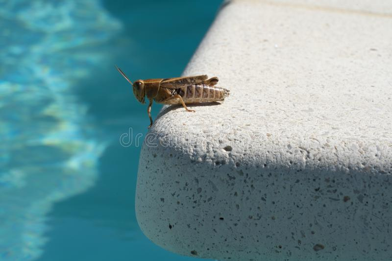 Grasshopper standing by the pool in the south of France stock photos