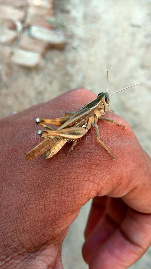 Grasshopper in summer royalty free stock image