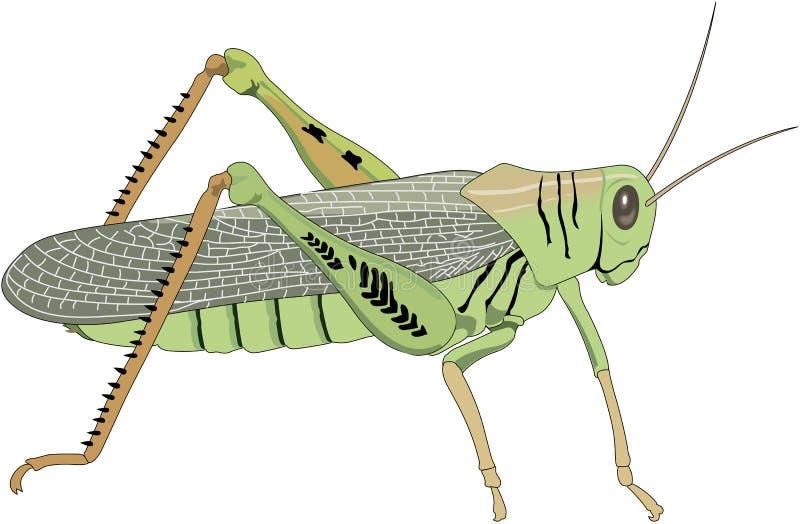 Grasshopper Vector Illustration. A vector illustration of a grasshopper vector illustration
