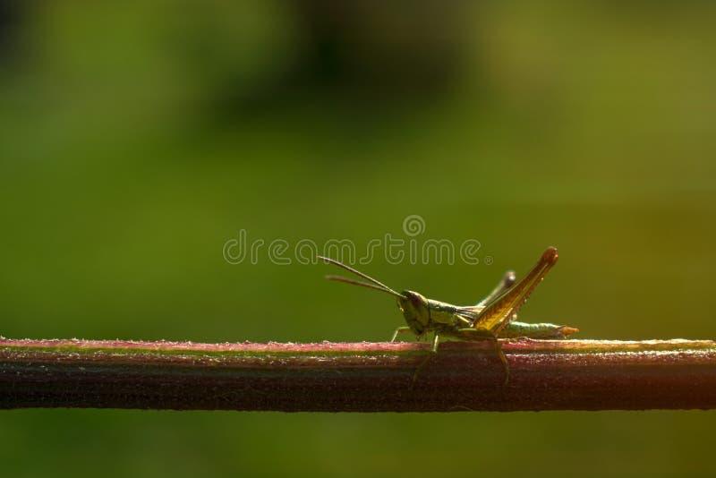 Grasshopper on vertical stalk stock photography