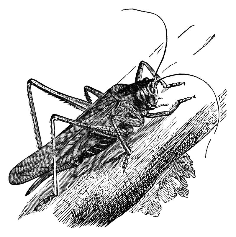 Grasshopper vintage illustration. Great green grasshopper, vintage illustration. Sourced from antique book The Playtime Naturalist by Dr. J.E. Taylor, published royalty free illustration