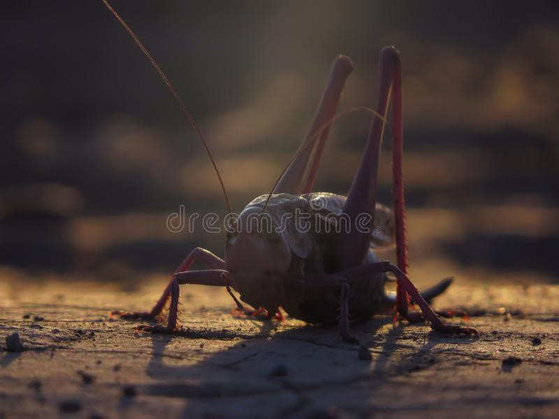 Grasshopper in the warm light royalty free stock image