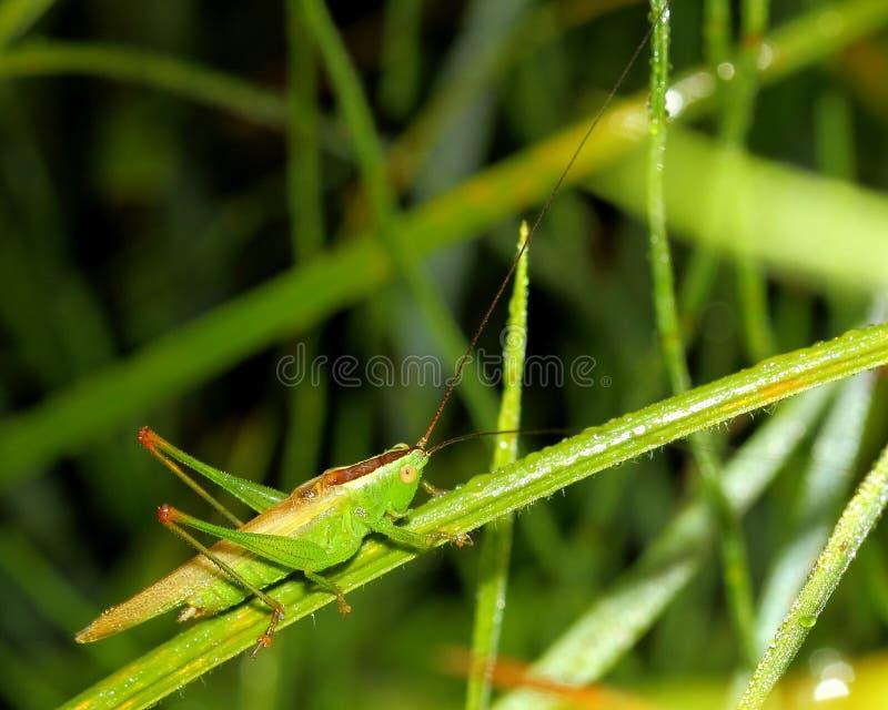 Grasshopper on wet grass