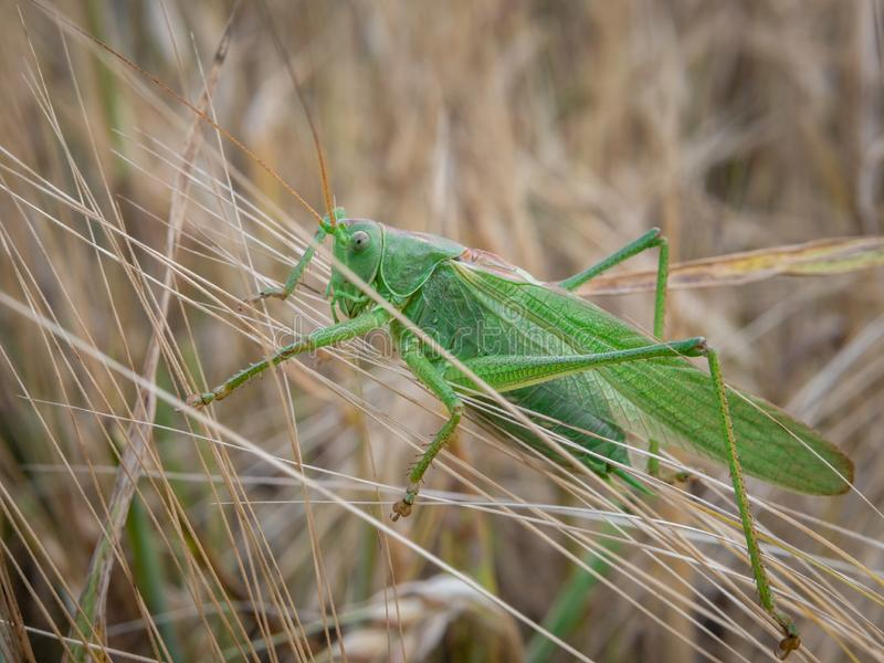 Grasshopper on a wheat field stock image