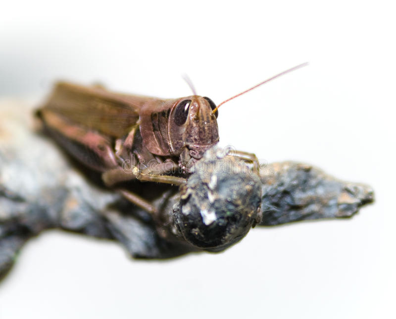Download Grasshopper on White stock photo. Image of gray, wood - 12210100
