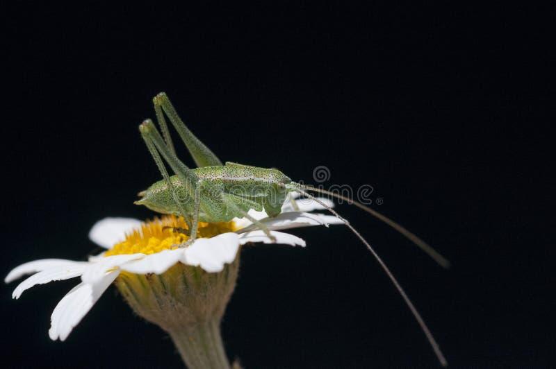 Grasshopper on white flower. Green grasshopper sitting on white flower against black background stock image