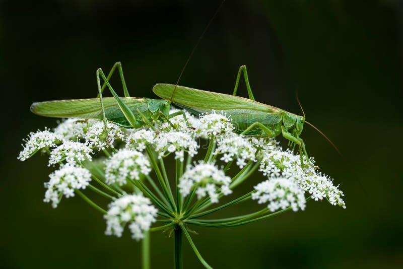 grasshoppers δύο στοκ εικόνες με δικαίωμα ελεύθερης χρήσης