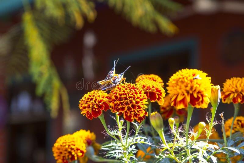 Grasshoppers ζευγάρωμα στοκ εικόνες με δικαίωμα ελεύθερης χρήσης