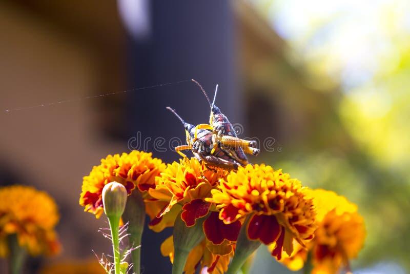 Grasshoppers ζευγάρωμα στοκ εικόνα