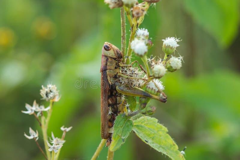 Grasshoppers στα φύλλα αφομοιώνουν με τη φύση στοκ εικόνα με δικαίωμα ελεύθερης χρήσης