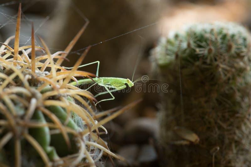 Grasshoppers στον κάκτο με τις ακίδες για να κρύψει τον κίνδυνο στοκ φωτογραφίες με δικαίωμα ελεύθερης χρήσης
