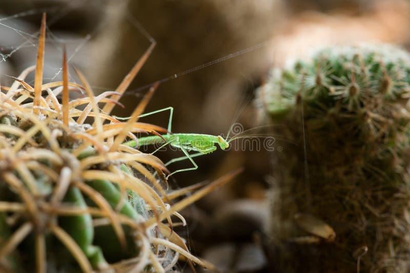 Grasshoppers στον κάκτο με τις ακίδες για να κρύψει τον κίνδυνο στοκ εικόνες