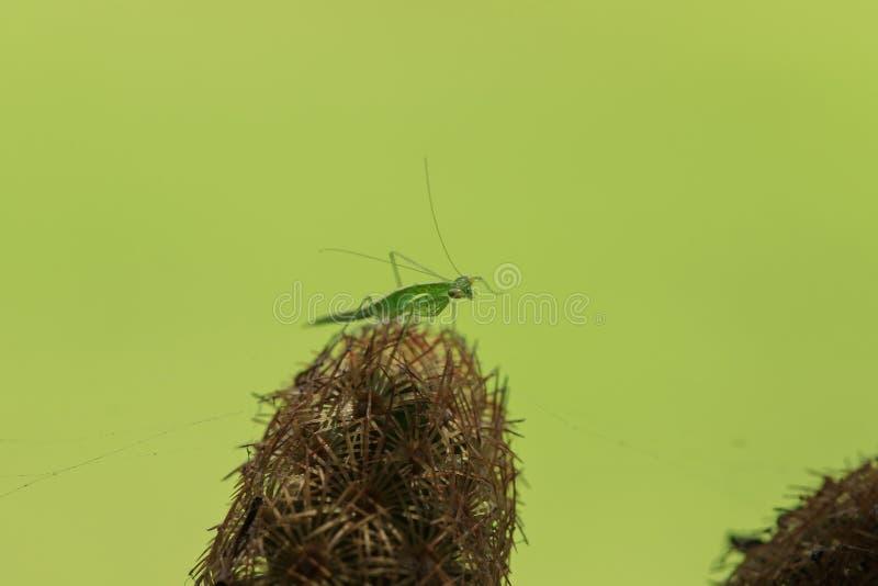 Grasshoppers στον κάκτο με τις ακίδες για να κρύψει τον κίνδυνο στοκ εικόνα