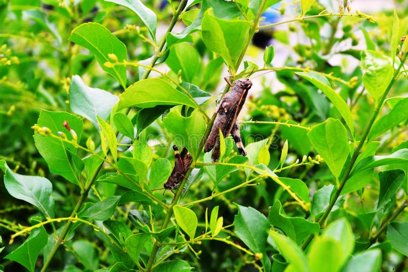 Grasshoppers στον κλάδο στοκ εικόνες με δικαίωμα ελεύθερης χρήσης