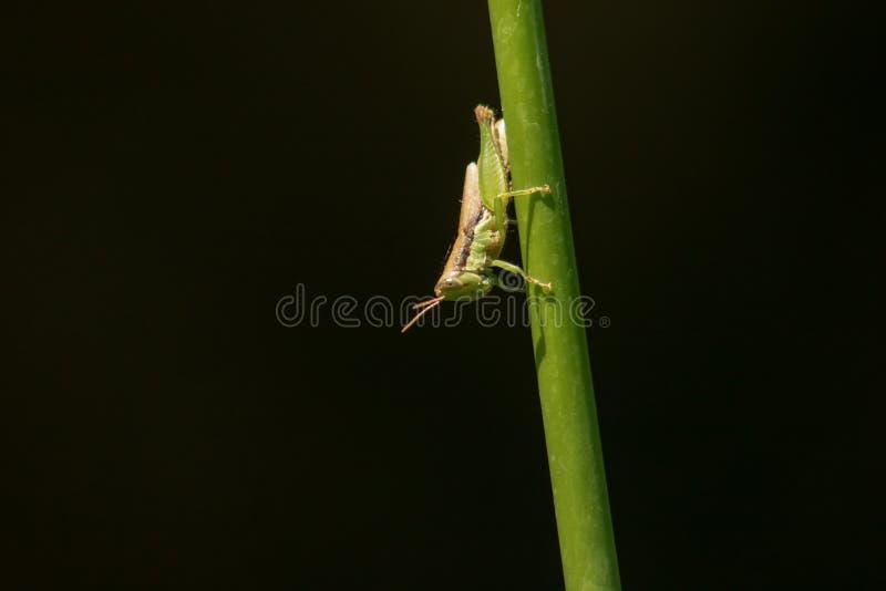 Grasshoppers στους κλάδους στη φύση στοκ εικόνες