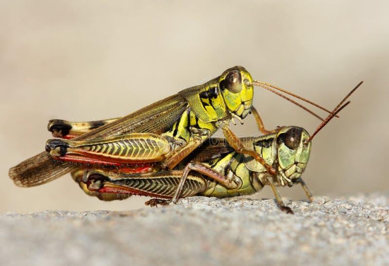 grasshoppers δύο στοκ φωτογραφίες με δικαίωμα ελεύθερης χρήσης