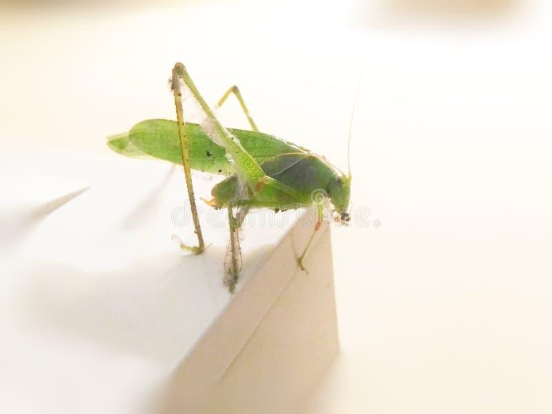 grasshoppers στοκ εικόνα