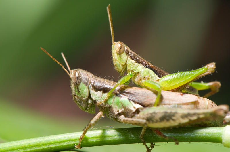 Download Grasshoppers stock photo. Image of feelers, fauna, animal - 20029316