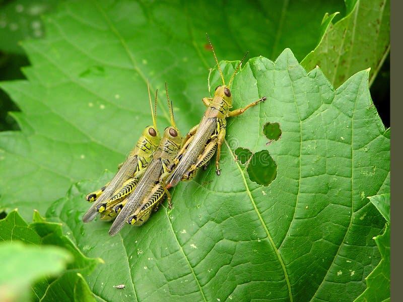 grasshoppers στοκ εικόνες