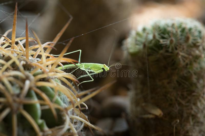 Grasshoppers on the cactus with spikes To hide danger royalty free stock photos
