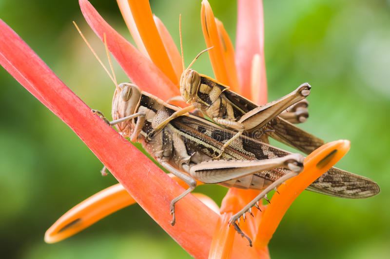 Grasshoppers are going to breeding on flower stock image