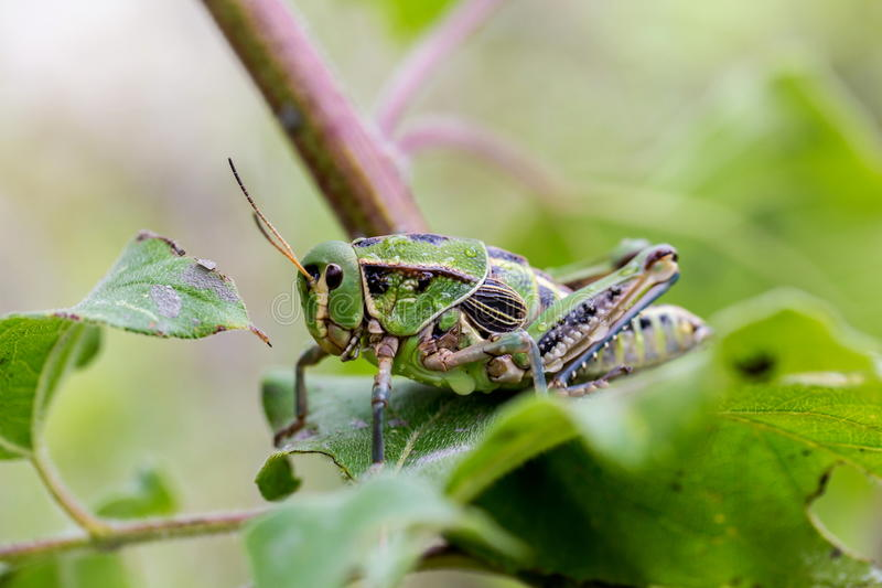 Grasshoppers of Mexico. Bright green grasshoppers are found in the grasslands of Mexico. They are called Chapulines and also collected by the local people and stock images