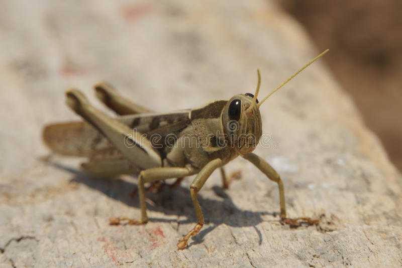 Grasshoppers on wooden plate front right view royalty free stock photos