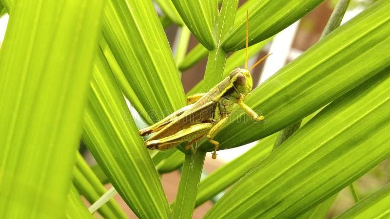 Grasshopping imágenes de archivo libres de regalías