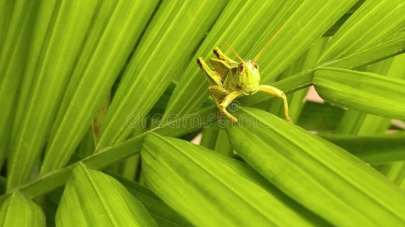 Grasshopping pinta 2 imagen de archivo libre de regalías