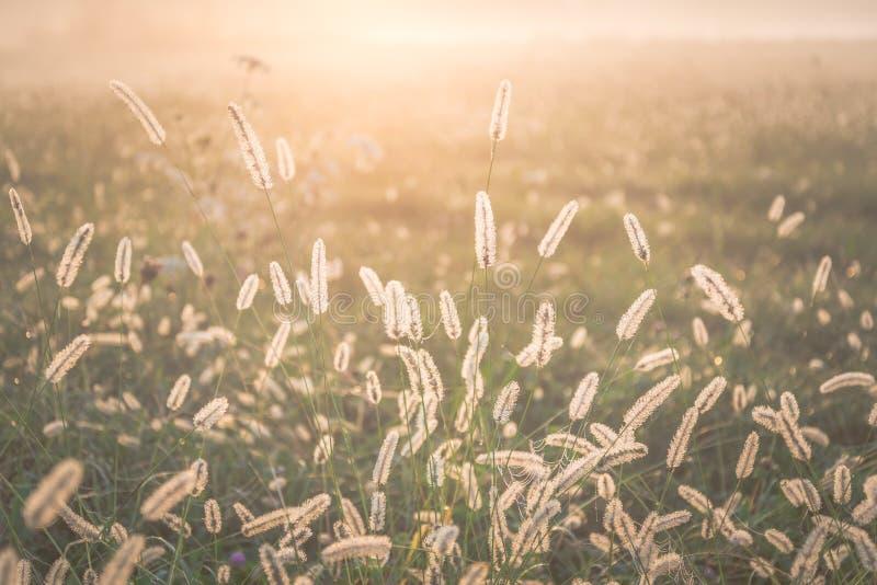 Grassin della coda di volpe una luce posteriore del sole di mattina fotografie stock