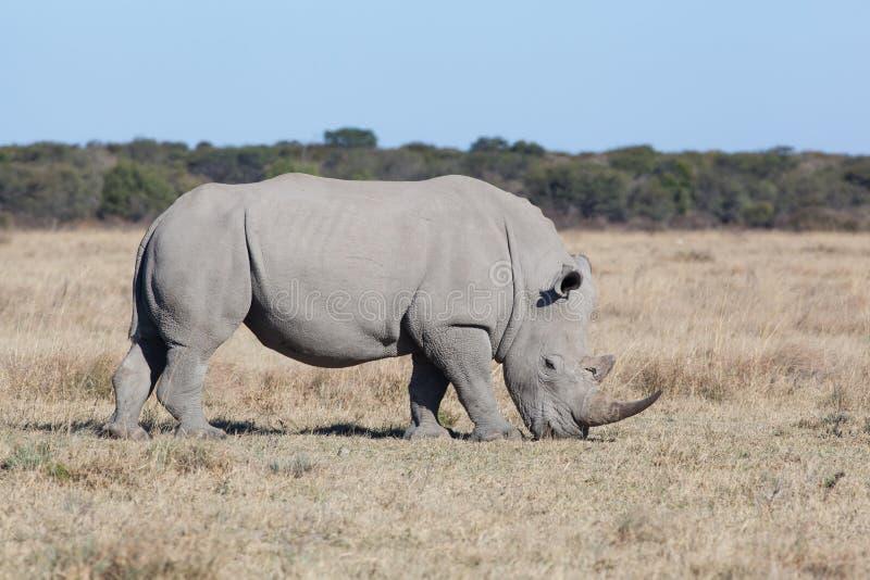 Grassing białą nosorożec zdjęcia royalty free