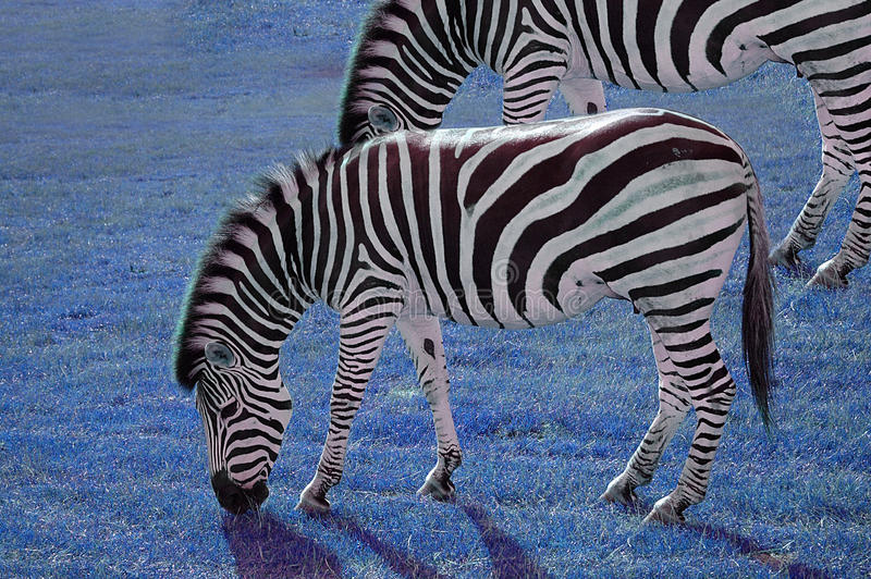 Grassing zebra. In an abstract blue grass background royalty free stock photo