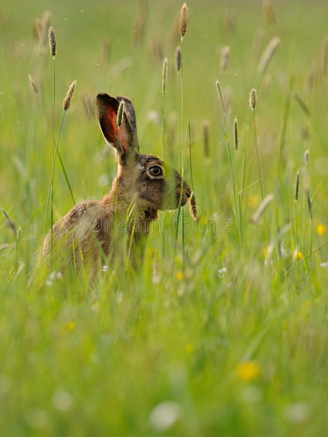 Download In the Grassland stock image. Image of europaeus, forest - 20505531