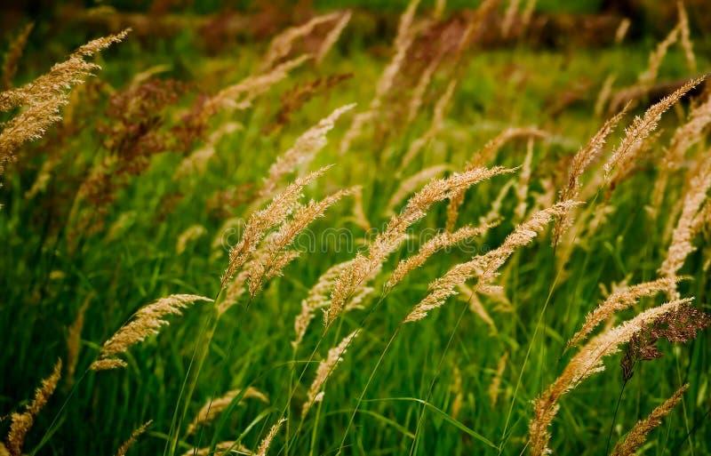 Grassland. Varieties of flowering grass plants royalty free stock photo