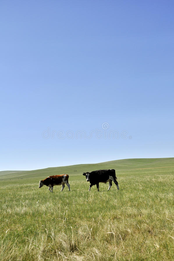 Download Grassland and cow stock image. Image of travel, landscape - 25030693