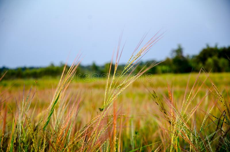 Grassland the first thing of life in Thailand royalty free stock photos