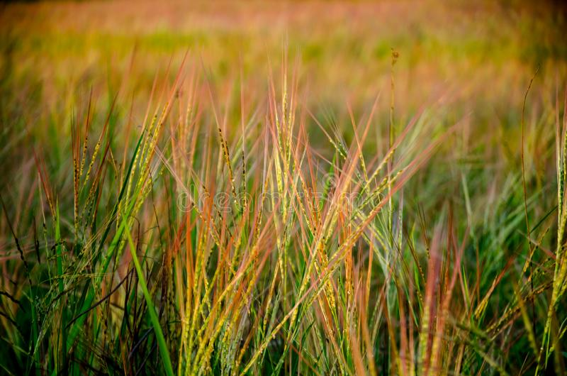 Grassland the first thing of life in Thailand royalty free stock photo
