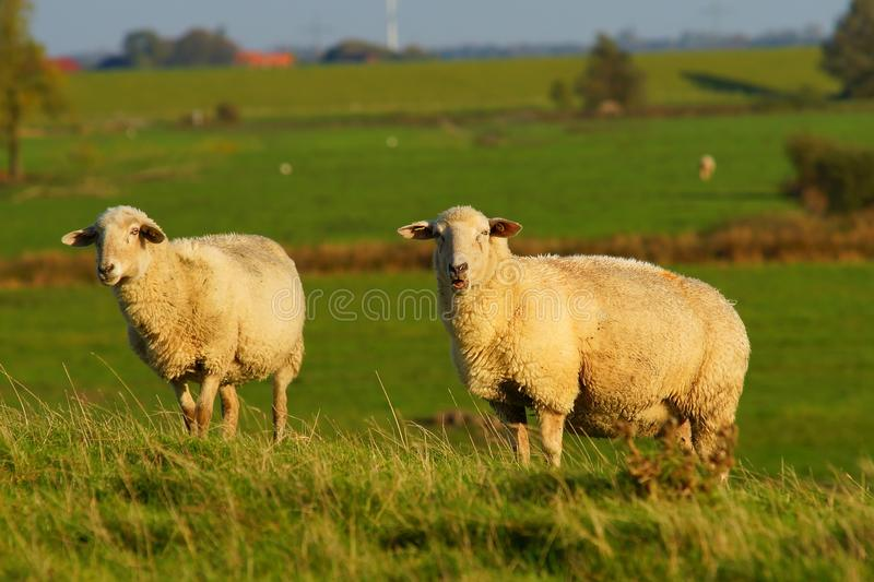 Grassland, Pasture, Sheep, Grazing Free Public Domain Cc0 Image