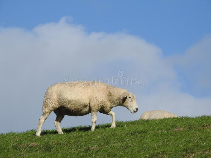 Grassland, Sheep, Ecosystem, Pasture stock photos