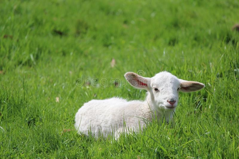 Grassland, Sheep, Pasture, Grazing stock photo
