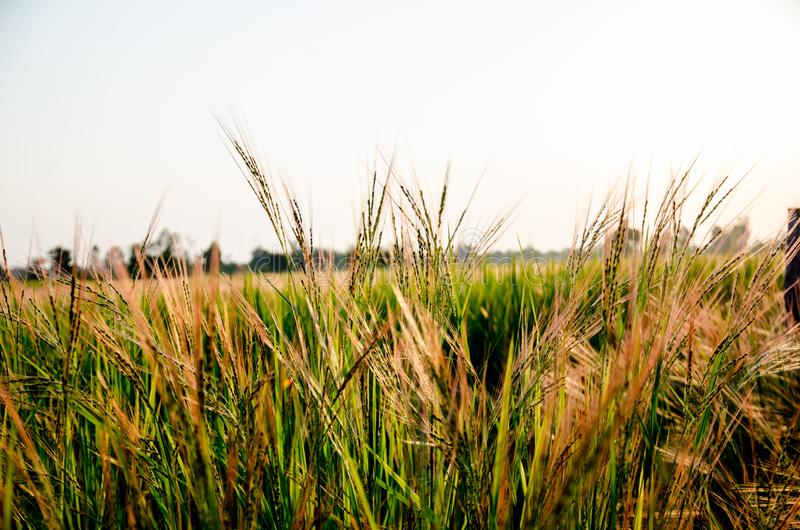 Grassland the first thing of life in Thailand. royalty free stock photography