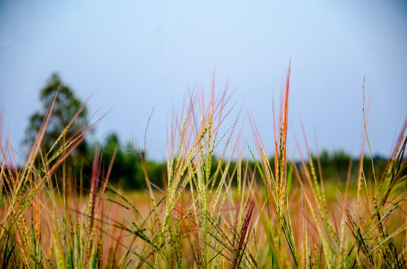 Grassland the first thing of life in Thailand. royalty free stock photo
