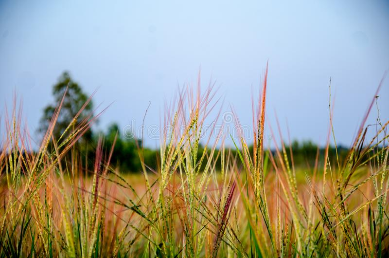 Grassland the first thing of life in Thailand. stock photography