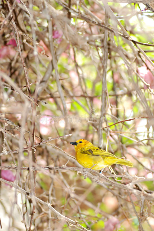 Download Grassland Yellow Finch stock image. Image of grassland - 25161649