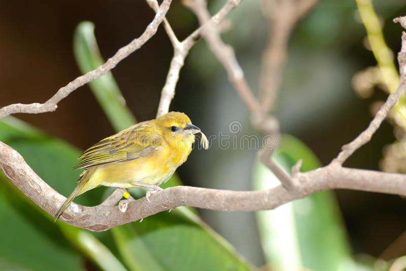 Grassland Yellow Finch With Feather In Beak Royalty Free Stock Images