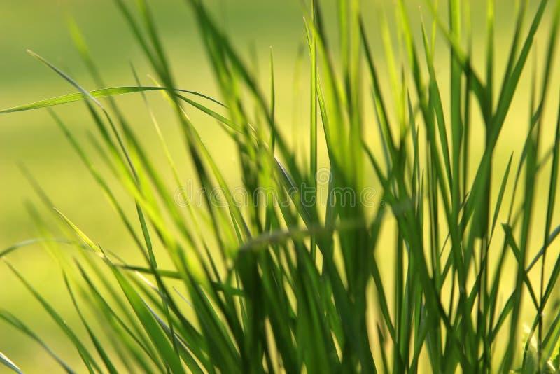 Grassprietjes royalty-vrije stock foto's