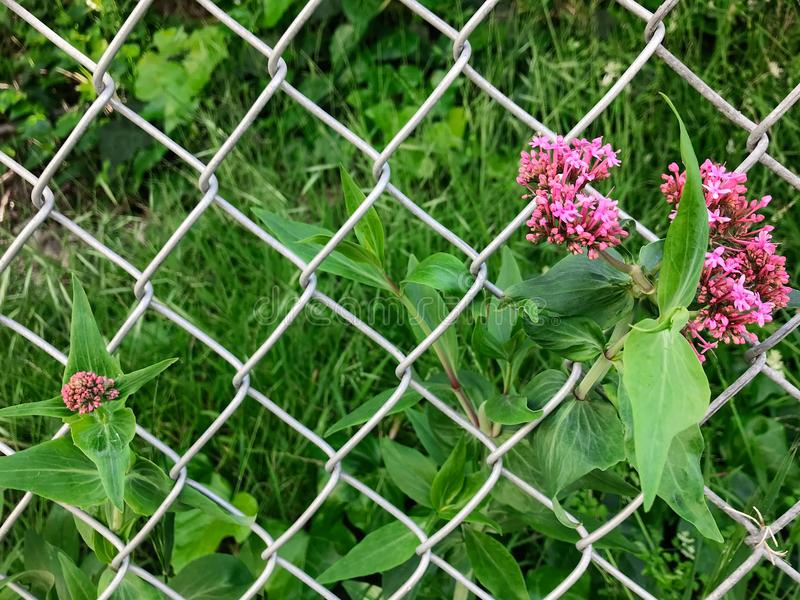 Grassy Field and Pink Wildflowers Growing Behind a Wire Fence stock image